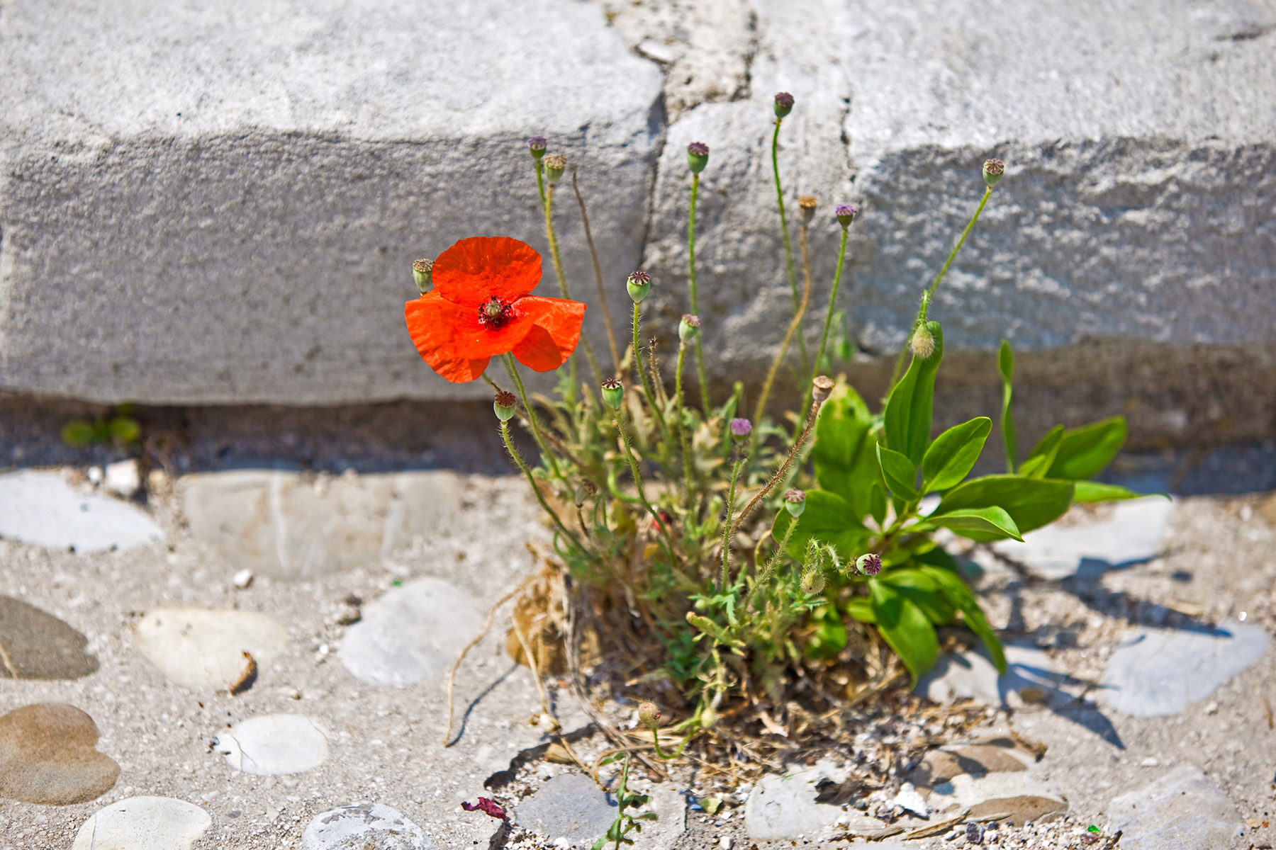 single red poppy on a stone stairs. horizontal shot